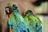 Two colorful parrots — 图库照片