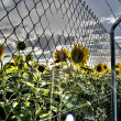 Spanish sunflowers field — Stock Photo #33536823