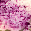 Stock Photo: Hydrangecloseup image
