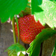 Stock Photo: Strawberry in kitchen garden.