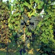 Stock Photo: Vineyard, grape harvest in Italy, Piedmont.