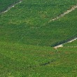 Stock Photo: Vineyards in Italy, Piedmont.