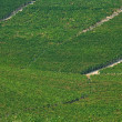 Vineyards in Italy, Piedmont. — Stock Photo