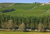 Las vacas y los viñedos en piamonte, italia. — Foto de Stock
