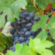 raisins de la vigne, vendanges en Italie, Piémont — Photo #28156083