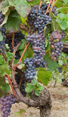 Bunches in a vineyard in Piedmont, Italy — Stock Photo