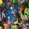 Stock Photo: Vineyard, grape harvest in Asti, Piedmont, Italy.