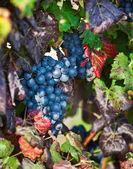 Vineyard, grape harvest in Asti, Piedmont, Italy. — Stock Photo