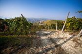 Colheita de vinhedo, uva. — Foto Stock