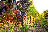 Vineyard, grape harvest. — Stock Photo