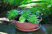 Succulent plants in pot — Foto de Stock