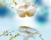 Orchid with reflection. — Stock Photo