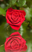 Rose with reflection. — Stock Photo