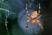Spider is sitting on a spider web — Stock Photo