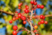 Berries and branches — Stock Photo
