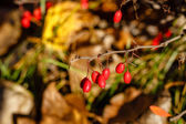 Berries and thorns — Stock Photo