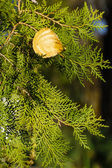Fir and autumn leaves — Stock Photo