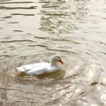 A snow goose — Stock Photo #32593293