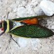 Cicada red eye — Stock Photo