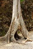 árbol hueco — Foto de Stock