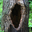 Tree hollow — Stock Photo