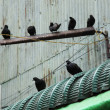 Flock of pigeons sit on wires — Stock Photo