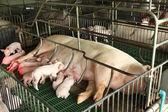 Newborn pigs feeding in modern kennel — Stock Photo