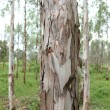 Gum tree eucalyptus — Stock Photo