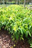 Planting ginseng bush — Foto de Stock