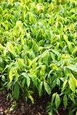 Planting ginseng bush — Stock Photo