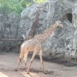 Stock Video: Giraffes walk at zoo