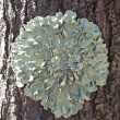 lichens on tree bark — Stock Photo