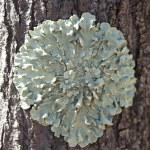 Lichens on tree bark — Stock Photo #33071643