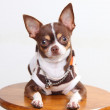 Chihuahua dog — Stock Photo