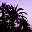 Stock Photo: Palm Tree silhouette at sunset