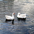 Swans and duck on water — Stock Photo