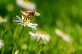 Bee flights around flower — Stock Photo