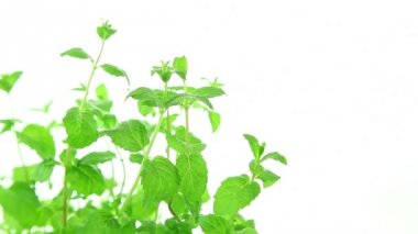 Fresh mint plant on white background — Stock Video