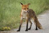 Wild posing fox — 图库照片