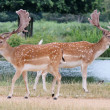 Pair of fallow stag buck deer walking past each other — Stock Photo #29422819