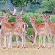 Group of fallow stag deer alert and looking to camera — Stock Photo #29422835