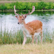 Stock Photo: Handsome young fallow deer buck