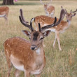 Group of young fallow stags looking to camera — Stock Photo #29425789
