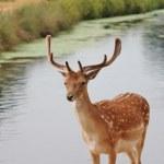 Handsome young fallow deer buck — Stock Photo