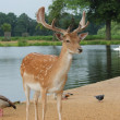 Handsome young fallow deer buck — Stock Photo #29426079