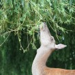 Fallow female deer on hind legs reaching to graze in tree — Stock Photo