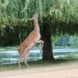Fallow female deer on hind legs reaching to graze in tree — Stock Photo #29427389