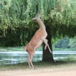 Fallow female deer on hind legs reaching to graze in tree — Stock Photo #29427399