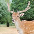 Young handsome fallow deer stag — Stock Photo #29428555