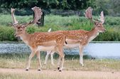 Pair of fallow stag buck deer walking past each other — Stock Photo